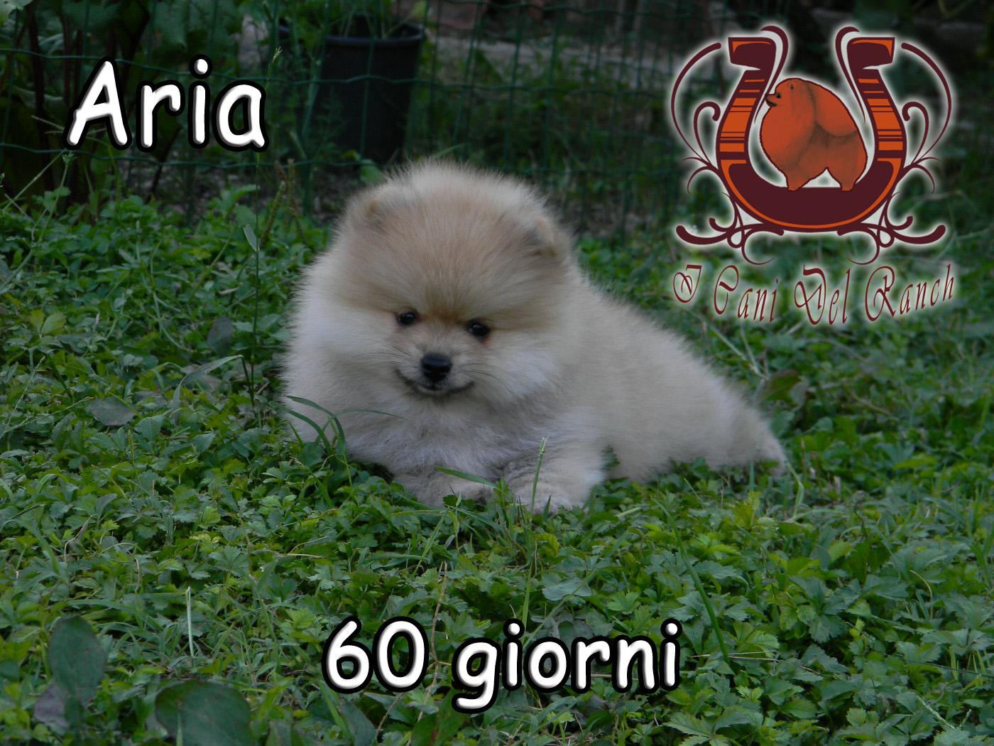 Cucciolo related keywords cucciolo long tail keywords for Volpino pomerania nano